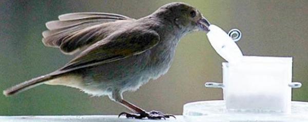 Barbadosdikbekje probeert aan eten te komen.